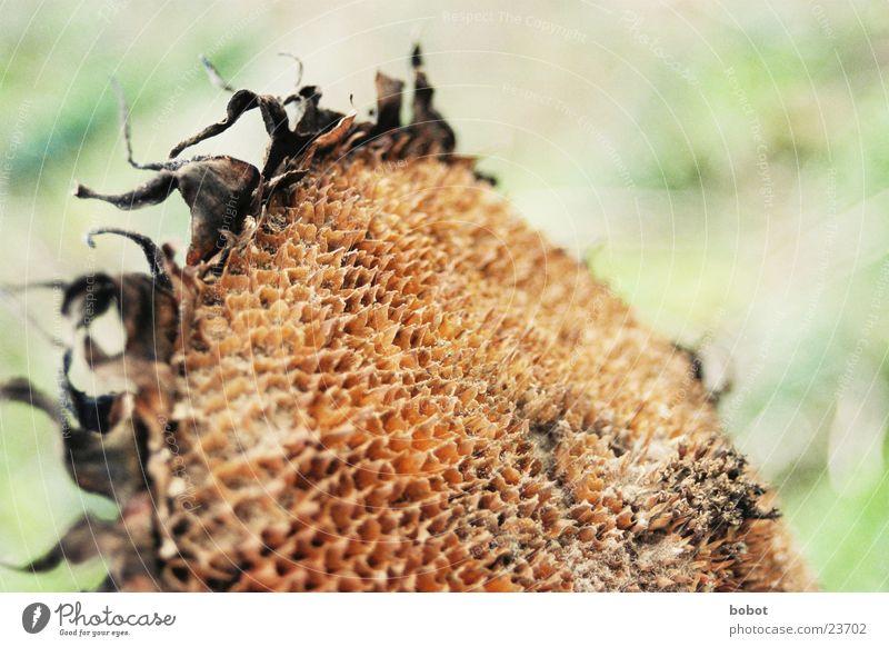 Zu viel Sonne Blume Pflanze gelb Herbst Tod braun trocken Sonnenblume Samen vertrocknet
