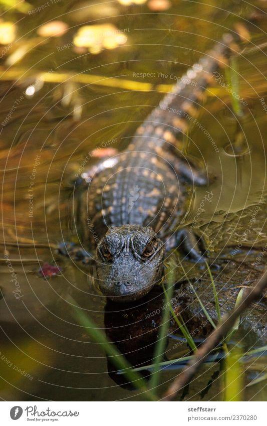 Young American Alligator mississippiensis Golfplatz Baby Teich Tier Wildtier Tiergesicht 1 Tierjunges groß Angst gefährlich Missisippi-Alligator Reptil Lizard