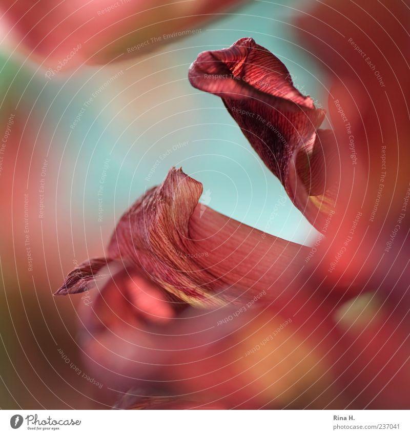 Ganz nah Pflanze Tulpe Blühend ästhetisch Makroaufnahme Blütenblatt Unschärfe Nahaufnahme Farbfoto Schwache Tiefenschärfe rot Menschenleer Strukturen & Formen