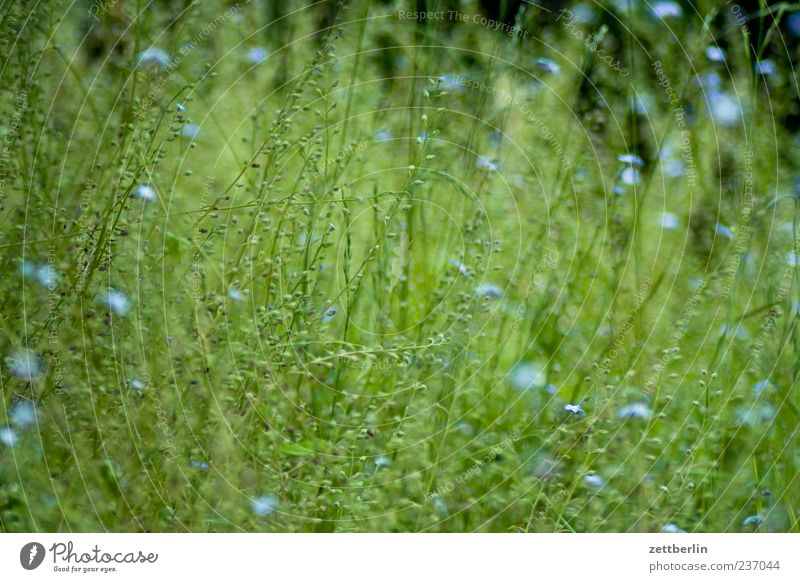 Vergissmeinnicht, fast verblüht Umwelt Natur Pflanze Frühling Sommer Blume Gras Grünpflanze Wiese Wachstum grün Farbfoto Außenaufnahme Menschenleer