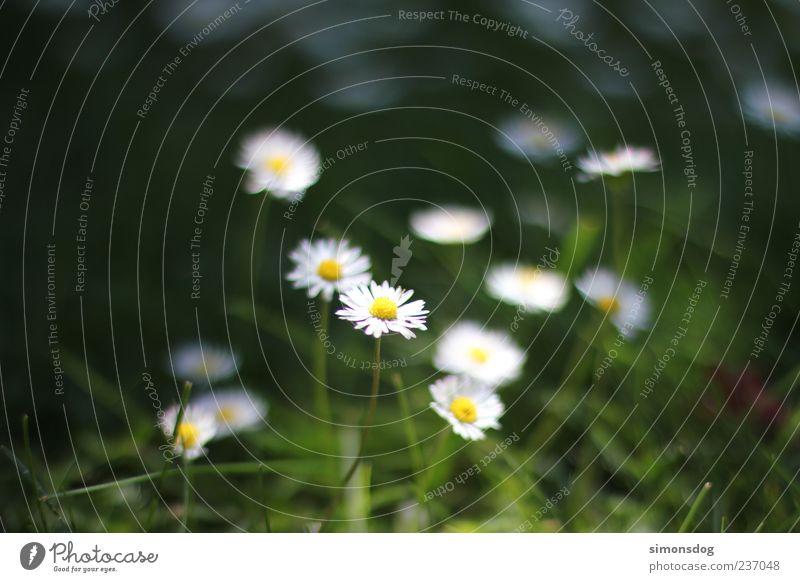 jedermannblume Pflanze Blume Gras Blüte Erholung leuchten ästhetisch dünn Gefühle Stimmung Duft Gänseblümchen weiß Garten Wiese Beleuchtungselement grün Natur