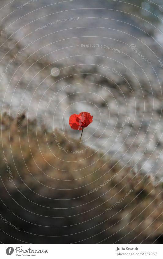 mohnklatsch Wasser rot Pflanze Blume Frühling grau Wind Wachstum trist Schönes Wetter einzeln Seeufer silber Bewegungsunschärfe Italien Gardasee