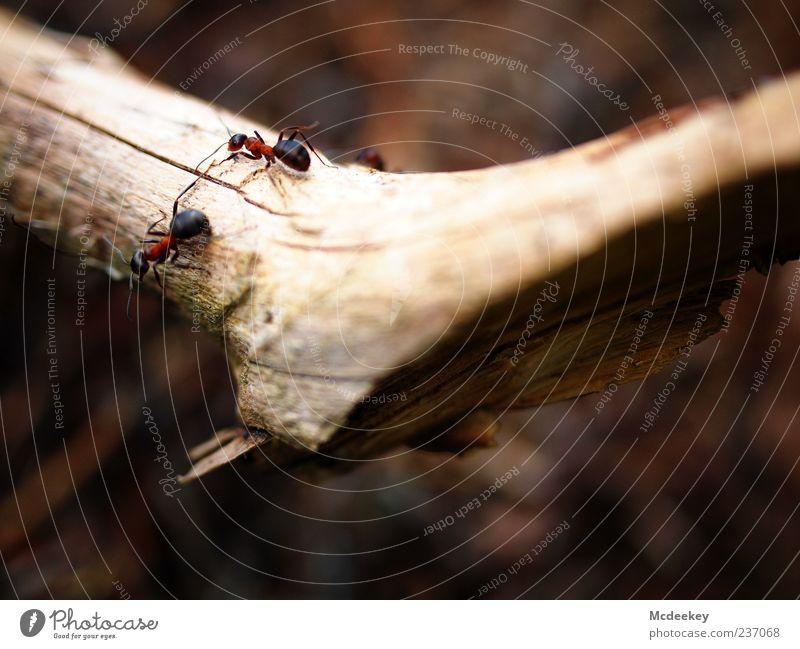 Das große Krabbeln 1 Natur Tier Sommer Pflanze Baum Nutztier Wildtier Ameise Ameisenstraße 2 Tiergruppe authentisch natürlich wild braun gelb grau rot schwarz