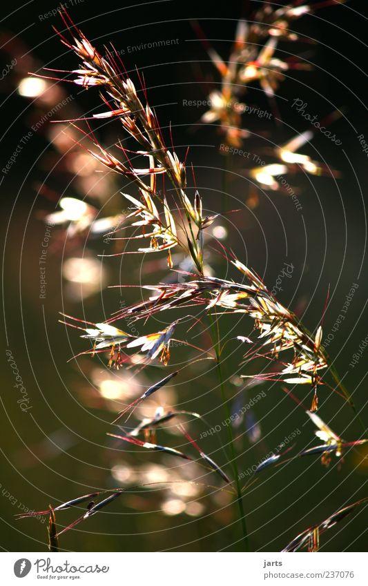 gras mit glamour Natur Pflanze Gras Lampe glänzend elegant natürlich frisch leuchten Schönes Wetter zart filigran natürliche Farbe