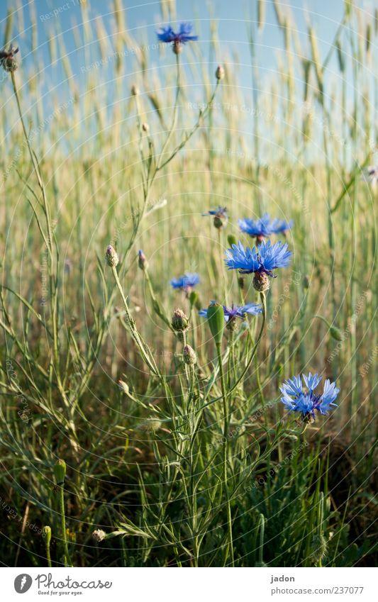kornblumenblau. Natur blau schön Pflanze Sommer Blume Landschaft Frühling Gras Blüte Feld Schönes Wetter Getreide Landwirtschaft Kräuter & Gewürze Duft