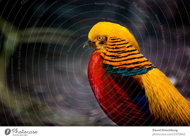 Goldfasan Natur Frühling Sommer Herbst Schönes Wetter Wald Tier Wildtier Vogel Tiergesicht Flügel Zoo 1 blau mehrfarbig gelb rot schwarz Fasan goldfasan Feder
