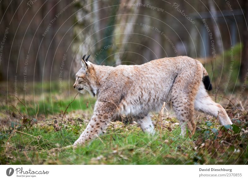 Luchs Katze Natur Ferien & Urlaub & Reisen Pflanze grün weiß Baum Tier Wald schwarz gelb Herbst Frühling gehen Wildtier Europa