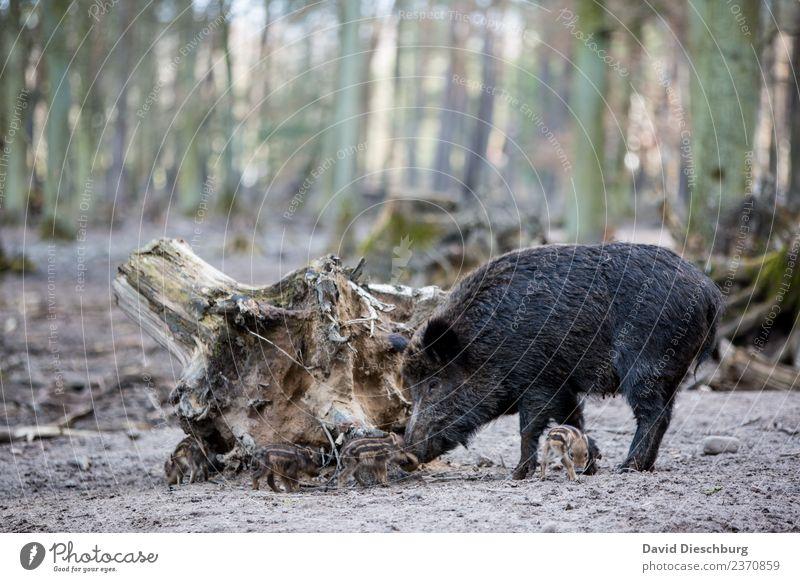 Wildschweinfamilie II Baum Wald schwarz Tierjunges gelb Herbst Frühling braun Erde Wildtier Schönes Wetter gefährlich Schutz Landwirtschaft Fell Jagd