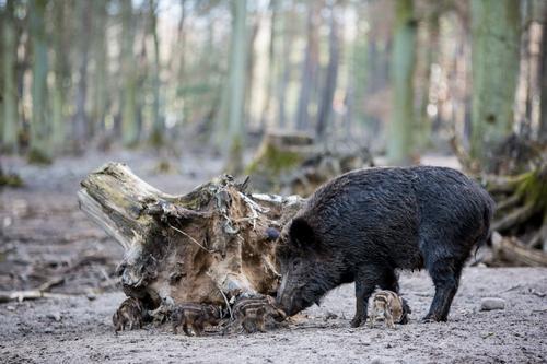 Wildschweinfamilie II Landwirtschaft Forstwirtschaft Erde Frühling Herbst Schönes Wetter Baum Wald Straßenverkehr Autofahren Wildtier Herde Tierjunges