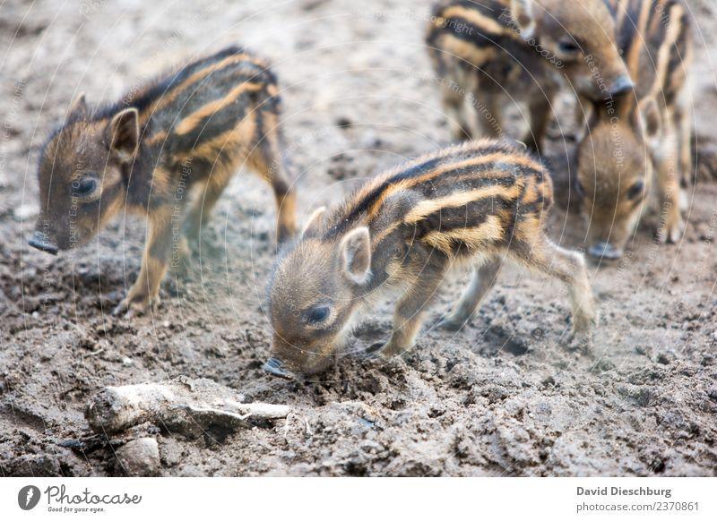 Frischlinge Erde Frühling Schönes Wetter Feld Wald Wildtier Tiergesicht Fell Zoo Tiergruppe Herde Tierjunges Tierfamilie Fürsorge bedrohlich Wildschwein Schutz