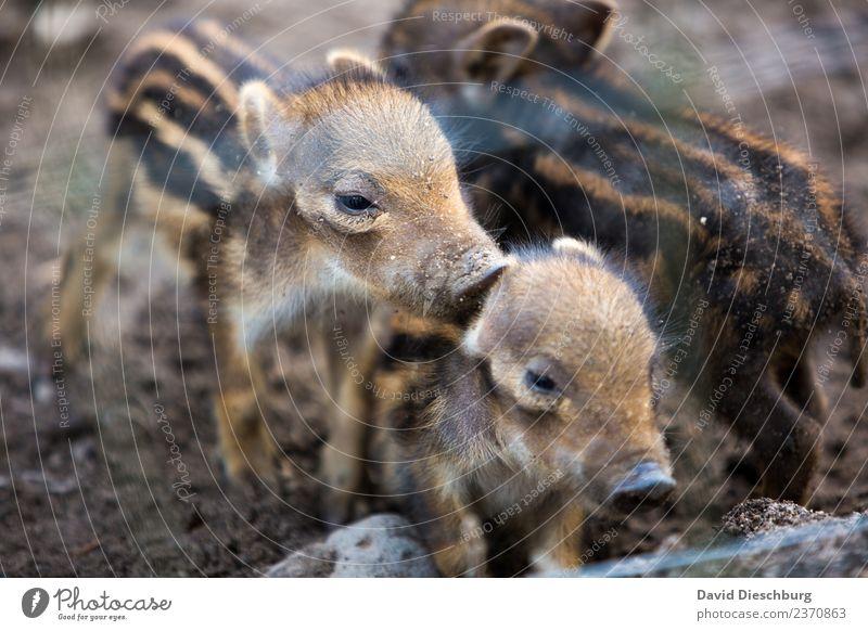 Geschwisterliebe Natur Tier Wald Tierjunges Herbst Frühling braun Zusammensein Freundschaft Erde Wildtier Schönes Wetter gefährlich Schutz Wildfleisch