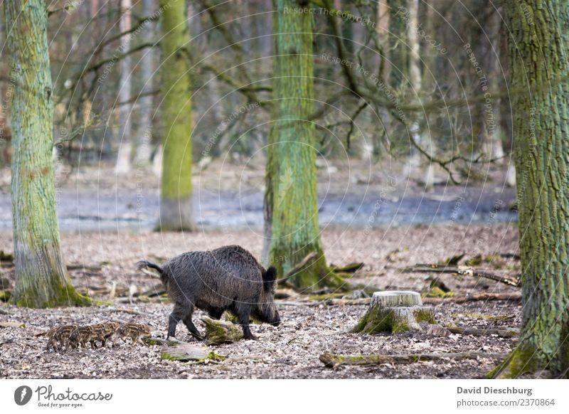 Wildschweinfamilie Natur Pflanze Landschaft Baum Tier Wald Tierjunges Herbst Frühling Wildtier Tiergruppe Schönes Wetter gefährlich Schutz Fell Umweltschutz