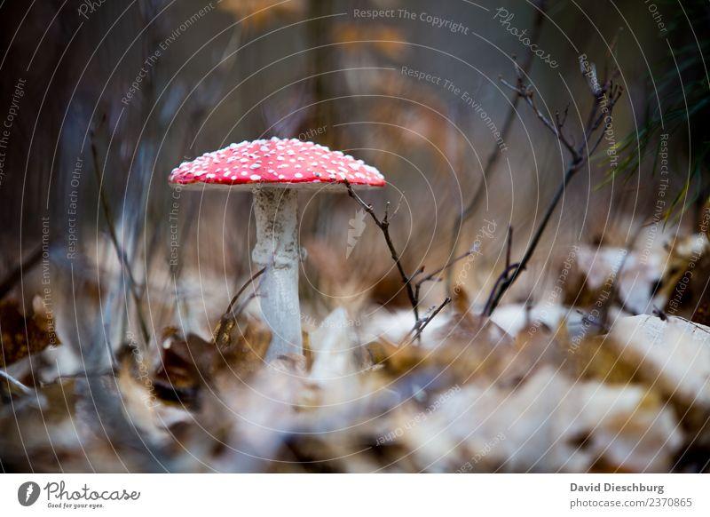 Fliegenpilz Ferien & Urlaub & Reisen Ausflug Landwirtschaft Forstwirtschaft Natur Pflanze Tier Frühling Herbst Schönes Wetter Wiese Wald braun gelb rot schwarz