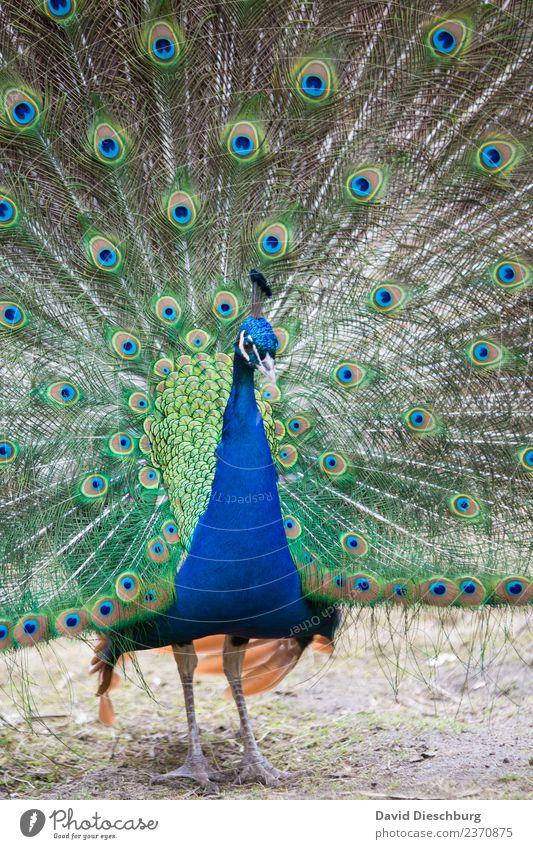 Pfau Natur Frühling Sommer Herbst Schönes Wetter Park Tier Wildtier Vogel Tiergesicht Flügel Zoo Streichelzoo 1 blau braun gelb grün orange Pfauenfeder