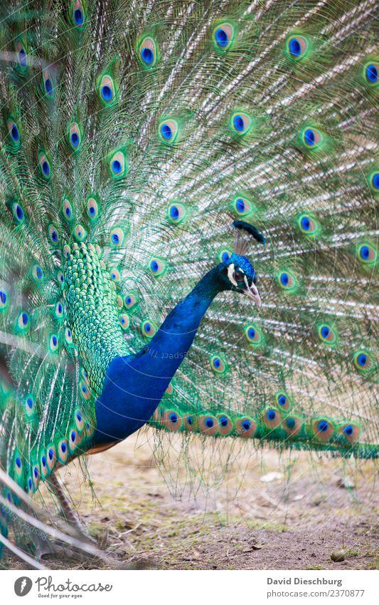 Pfau Natur blau schön grün Tier gelb Frühling Feder Schönes Wetter Flügel violett Zoo Tiergesicht werben beeindruckend Hochformat