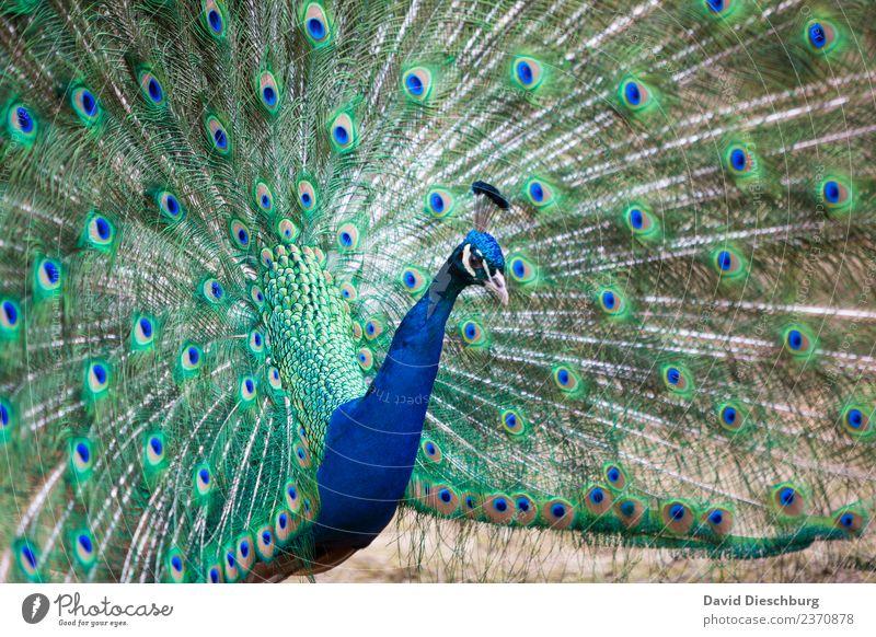 Pfau Natur Schönes Wetter Tier Vogel Tiergesicht Flügel Zoo Streichelzoo 1 blau grün violett Pfauenfeder Querformat schön Brunft Hals Kopf Muster Kreis Feder