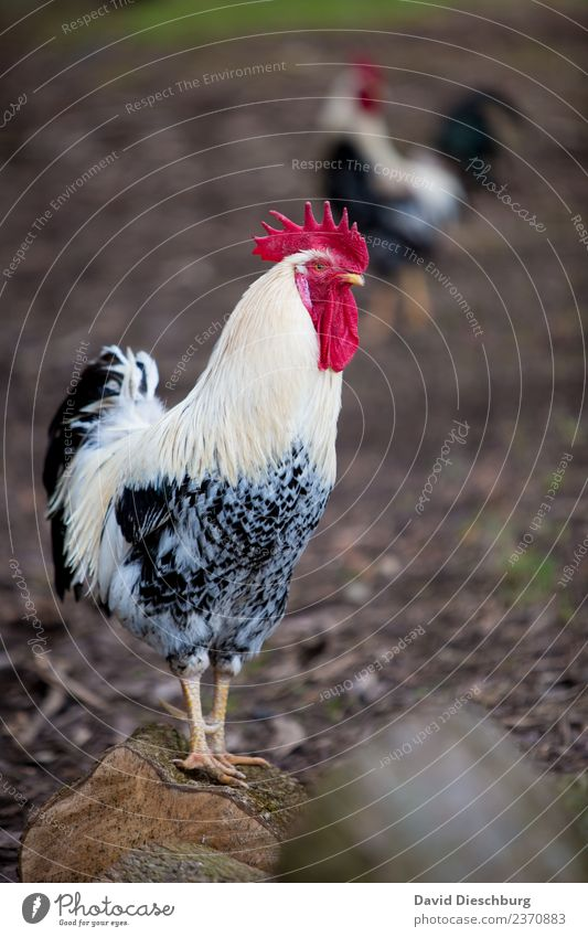 Der Hahn Natur Ferien & Urlaub & Reisen weiß rot Tier schwarz Lebensmittel braun maskulin Tierpaar Erde stehen Feder Schönes Wetter Flügel Schutz