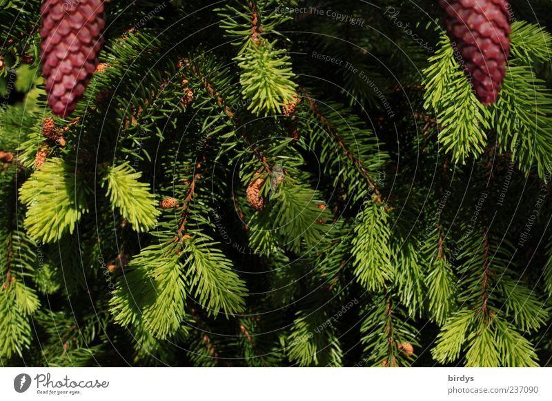 2 Tannenzäpfle bitte Pflanze Frühling stachelig grün rot Zapfen Trieb Tannennadel Tannenzweig Ast frisch Natur Baum hellgrün dunkelgrün Nadelbaum Picea abies