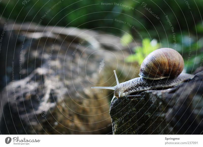 SCHNECKENsprung Tier Schnecke 1 Stein Bewegung hocken Ekel elegant schleimig Gelassenheit geduldig ruhig Ausdauer Fortschritt Natur Neugier Fühler Schneckenhaus