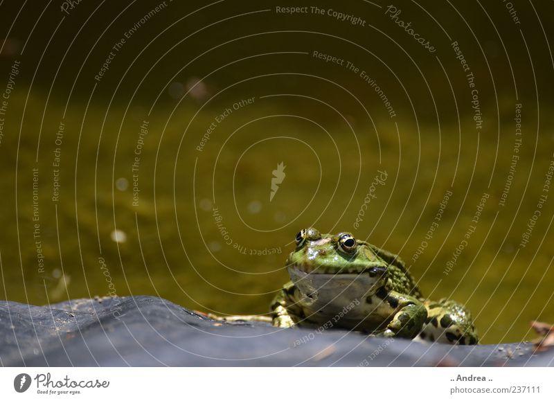 Froschkönig Ferien & Urlaub & Reisen Tourismus Ausflug Safari Expedition Tier genießen Lurch Grasfrosch hüpfen springen Wiese Feld Unke Ekel Teich Quaken Kröte