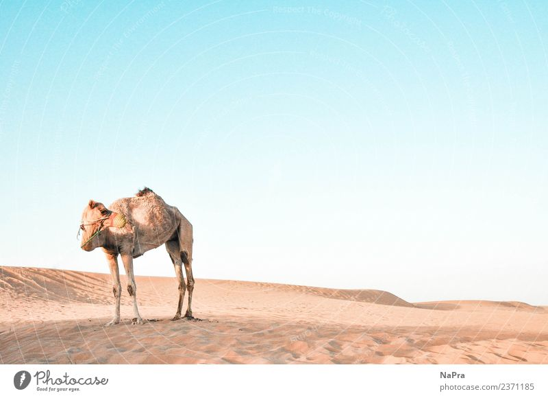 In die Wüste geschickt Himmel Natur Ferien & Urlaub & Reisen Sommer Landschaft Sonne Erholung Tier ruhig Ferne Wärme Umwelt Tourismus Sand Wetter Luft