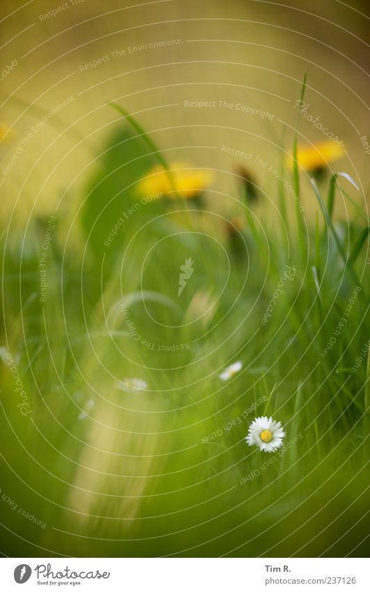 Ein Zahn im Rad der Zeit Natur Pflanze Frühling Schönes Wetter Gras Blüte Wildpflanze Garten Wiese Duft entdecken frisch schön positiv mehrfarbig gelb grün