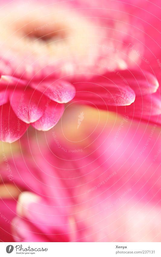 Rosa Tentakel Pflanze Blume Blüte Gerbera rosa Blühend Blütenblatt Farbfoto Innenaufnahme Menschenleer Textfreiraum unten Unschärfe Makroaufnahme