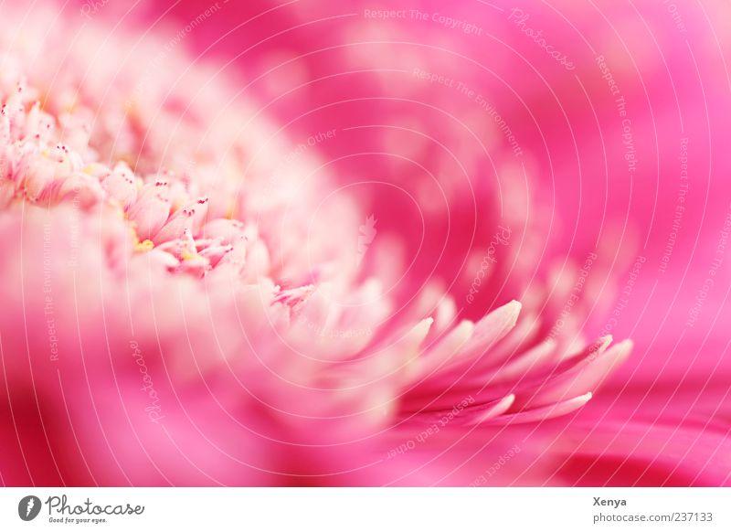Seerosenmimikry Pflanze Blume Blüte rosa Blütenblatt Gerbera Makroaufnahme Farbfoto Innenaufnahme Menschenleer Textfreiraum rechts Textfreiraum oben Unschärfe