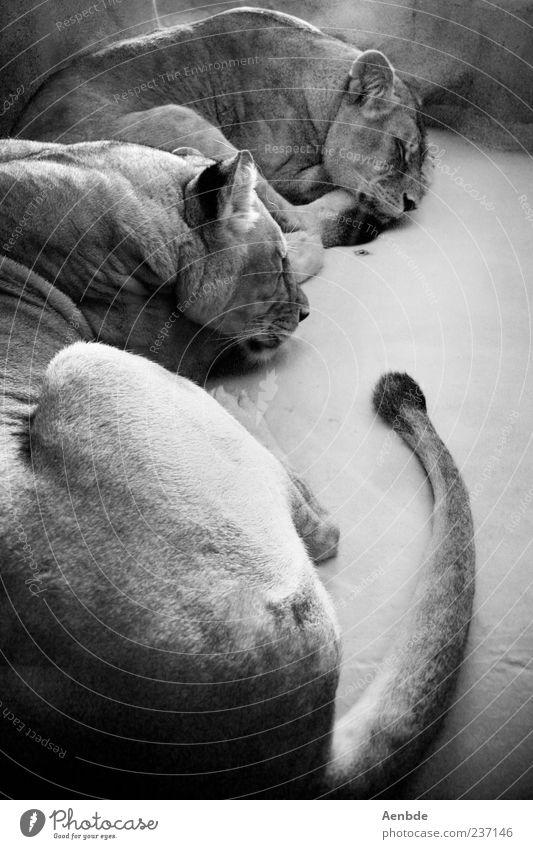 dreaming lions Tier Wildtier Zoo Löwe 2 Tierpaar schlafen Schwanz Licht Schwarzweißfoto Innenaufnahme Tag liegen ruhen geschlossene Augen
