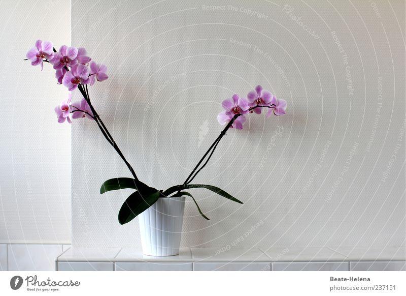 V-Blümchen Pflanze Orchidee Blatt Blüte Blühend ästhetisch außergewöhnlich Duft exotisch grün violett weiß Farbe Farbfoto Innenaufnahme Menschenleer
