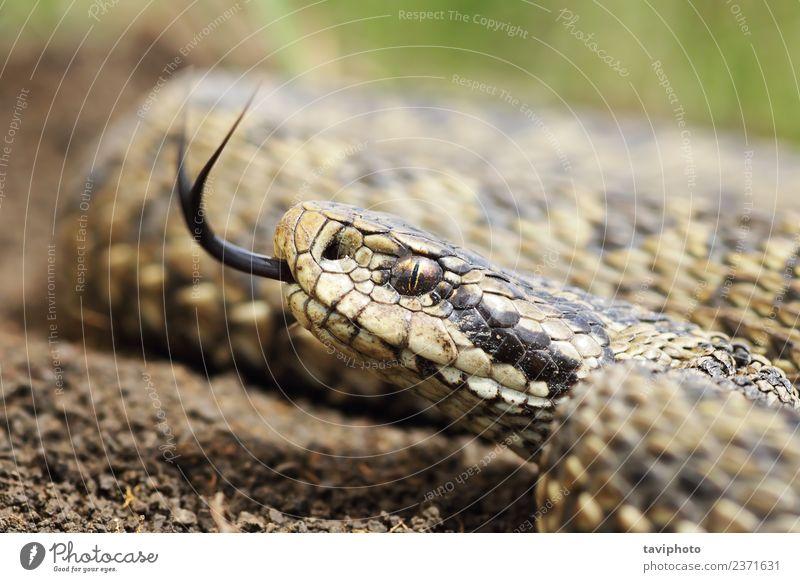 Natur schön Tier Wiese braun wild Angst gefährlich Fotografie Lebewesen Europäer Gift Schlange Reptil Schrecken Natter