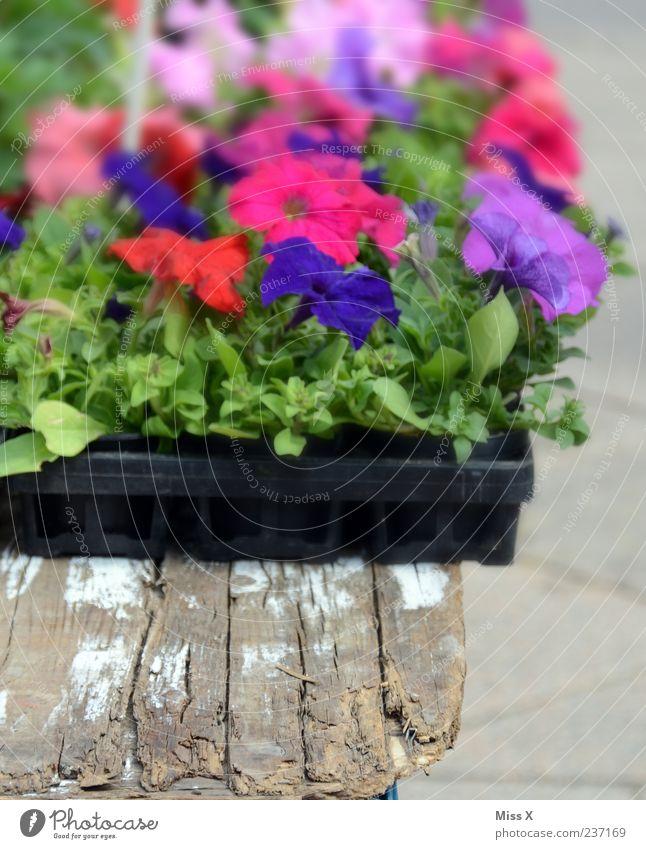 Petunie Pflanze Blume Blatt Blüte Topfpflanze Blühend blau violett rosa Balkonpflanze Farbfoto mehrfarbig Außenaufnahme Nahaufnahme Menschenleer