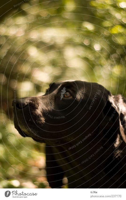 °° sehnsüchtiger Blick °° Tier Haustier Hund Tiergesicht Labrador 1 beobachten authentisch Neugier grün schwarz ruhig Sehnsucht Farbfoto Außenaufnahme