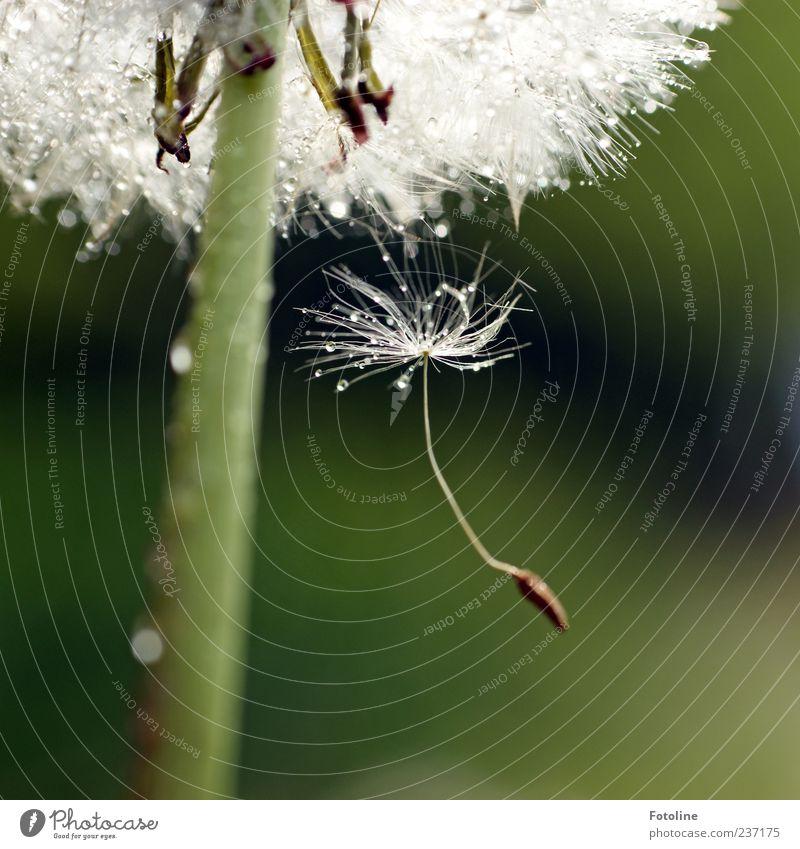 Und tschüß! Umwelt Natur Pflanze Urelemente Wasser Wassertropfen Sommer Blume Blüte Wildpflanze hell nah nass natürlich weich grün weiß Löwenzahn Samen Trennung