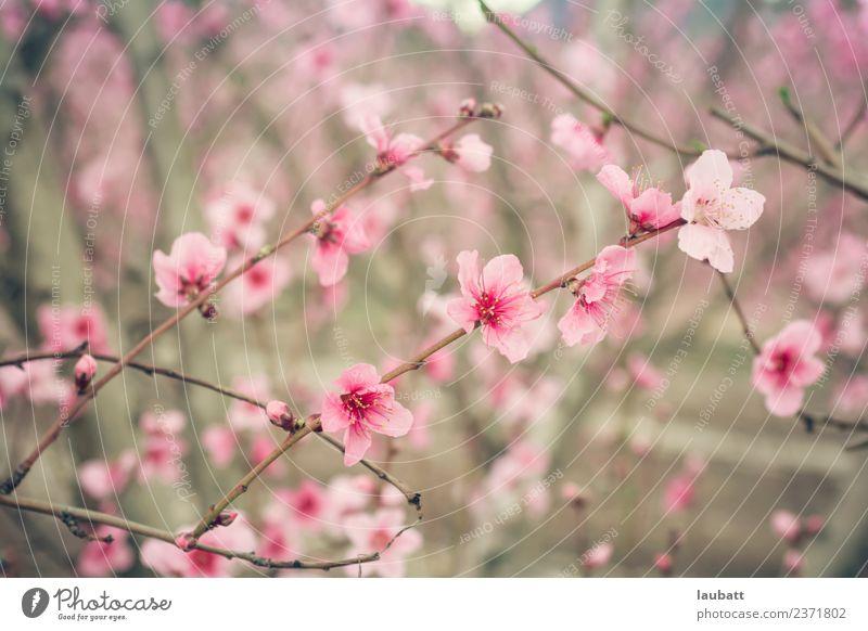 Rosa Pfirsichblüte Frucht Umwelt Natur Pflanze Luft Frühling Schönes Wetter Baum Blume Nutzpflanze Pfirsichblüten Pfirsichbaum Pflaumenblüte Pflaumenbaum