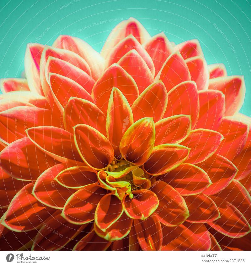 Flower-Power Natur Pflanze Sommer Blume Blüte Dahlien Garten Park Blühend Duft gelb rot ästhetisch Design Energie Farbe Symmetrie feurig Kraft Farbfoto