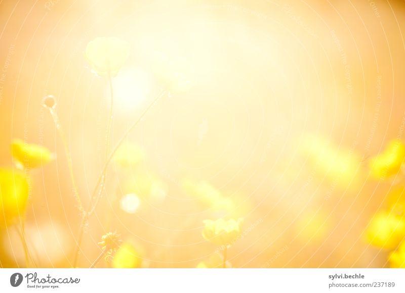 Butterblume. Umwelt Natur Pflanze Sonne Sommer Schönes Wetter Blume Blüte Wiese leuchten Wärme gelb Warmherzigkeit Romantik Idylle Wachstum orange Hahnenfuß
