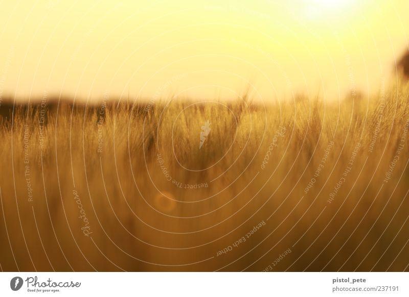 Ährenfeld 2 Himmel Natur Pflanze Sonne Sommer gelb Landschaft Wärme hell braun Feld natürlich Warmherzigkeit Schönes Wetter Textfreiraum Sonnenaufgang