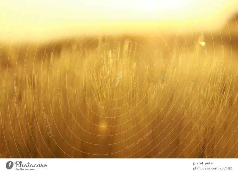 Ährenfeld 1 Sommer Sonne Natur Landschaft Himmel Sonnenlicht Schönes Wetter Pflanze Nutzpflanze Feld hell natürlich Wärme braun gelb Warmherzigkeit Farbfoto
