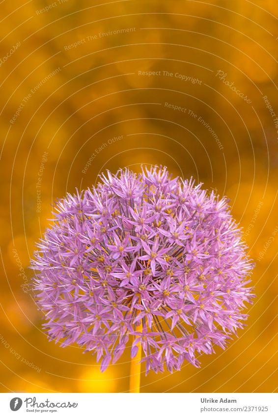 Zierlauch (Allium) Natur Sommer Pflanze Blume Wärme Frühling Blüte Traurigkeit Garten Feste & Feiern rosa Dekoration & Verzierung gold glänzend elegant weich
