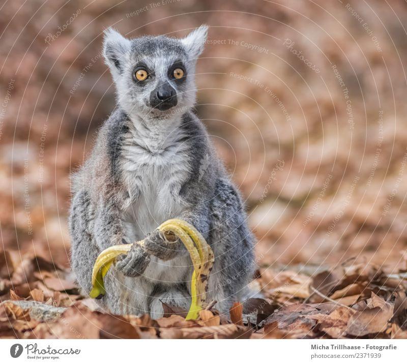 Erschrockener Blick Frucht Banane Gesunde Ernährung Natur Tier Sonne Schönes Wetter Blatt Wald Wildtier Tiergesicht Fell Pfote Affen Katta Halbaffen Auge 1