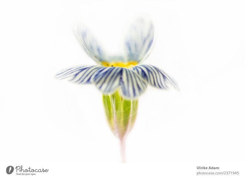 Blau weiß gestreifte Primel Design Dekoration & Verzierung Tapete Hintergrundbild neutral Feste & Feiern Muttertag Ostern Hochzeit Geburtstag Natur Pflanze