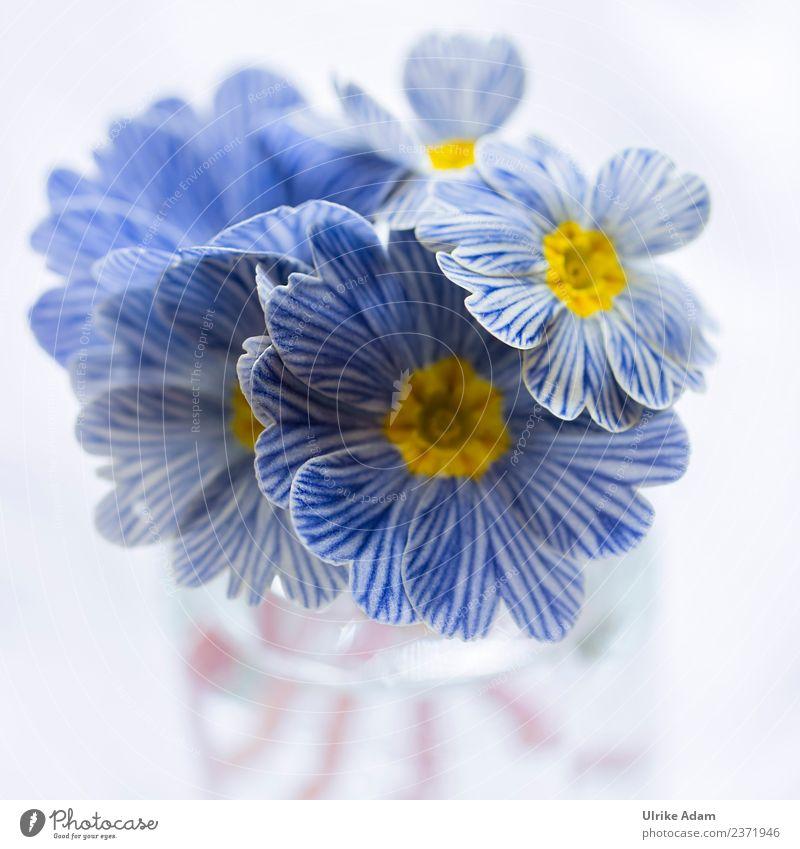 Blau weiß gestreifte Zebra Primeln elegant Design Natur Pflanze Frühling Blume Blüte Kissen-Primel Primelgewächse Zebra-Primel Garten Blumenstrauß Blühend