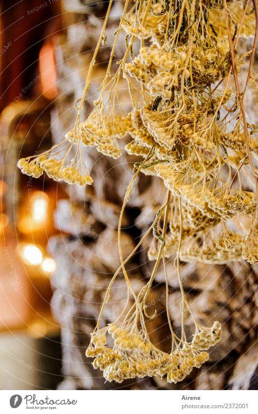 Schafgarbe, Kümmel, Fenchel? Kräuter & Gewürze Wildpflanze Unkraut hängen Duft Gesundheit natürlich trocken gelb gold Zufriedenheit Erholung genießen Natur