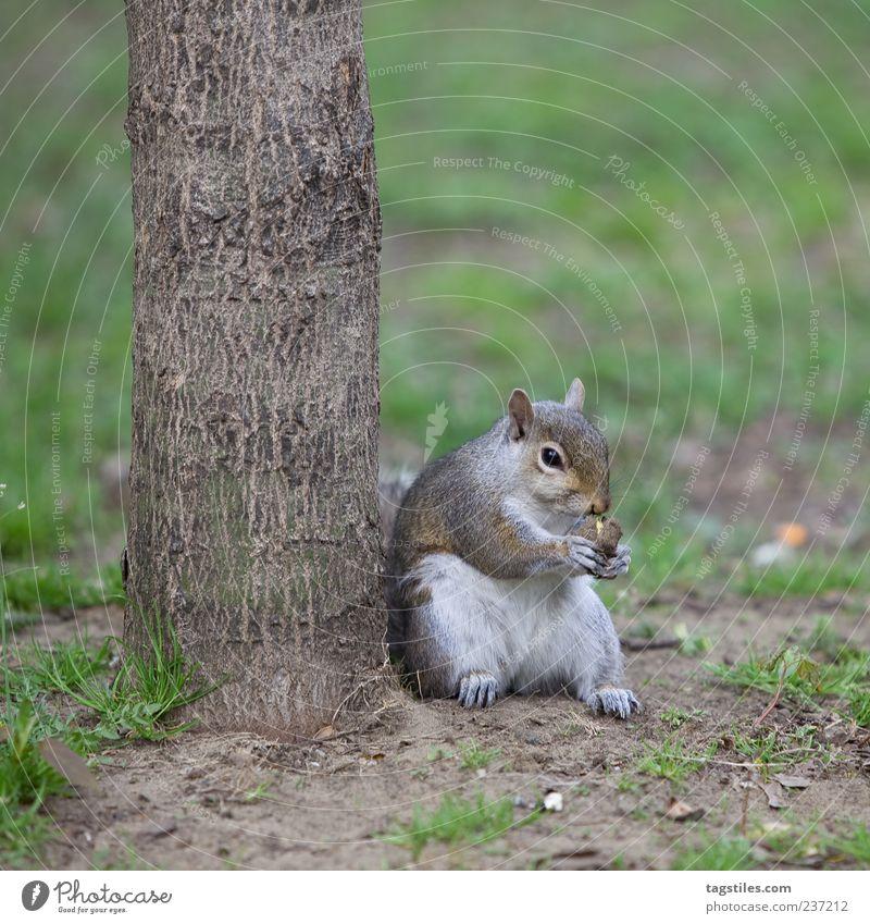 STREET-HÖRNCHEN Eichhörnchen lässig beweglich Fressen Natur Tier Toronto Baum Baumstamm Farbfoto Textfreiraum unten sitzen Zufriedenheit Nuss Nussknacker