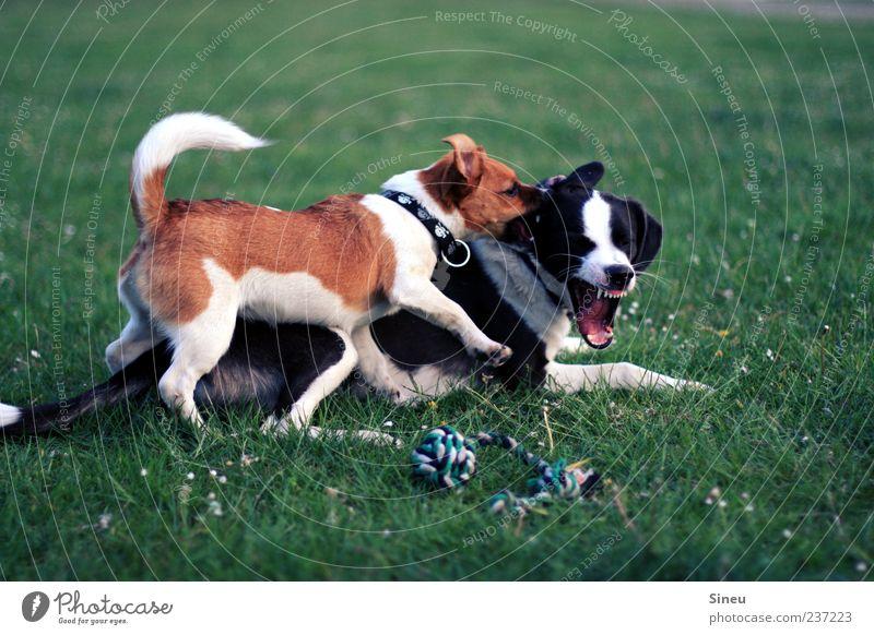 AUA! Natur grün weiß Sommer Freude schwarz Tier Hund Wiese Leben Spielen Bewegung Gras braun Kraft niedlich