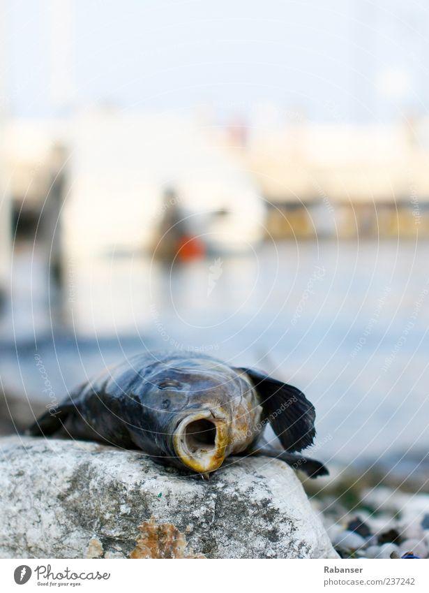 Vergessen blau Wasser Sommer Tier Tod Stein See Wildtier liegen authentisch Fisch Tiergesicht bewegungslos Fischmaul Totes Tier