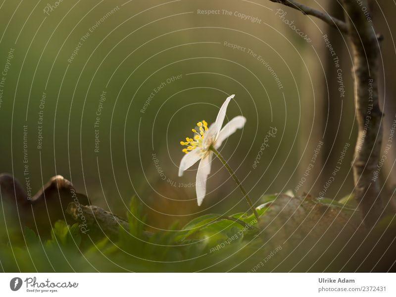 Buschwindröschen - Waldanemone Natur Pflanze grün weiß Blume Erholung Blatt ruhig Leben Frühling Blüte Zufriedenheit leuchten Feld glänzend
