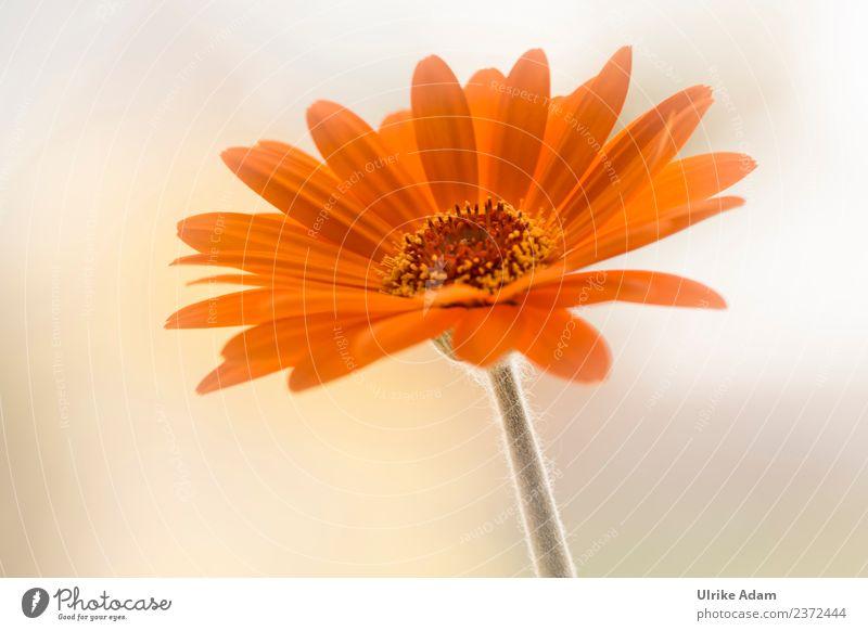 Blumengruß - Orange Gerbera Natur Sommer Pflanze schön Blüte Garten orange hell Lebensfreude Blühend Blumenstrauß Blütenblatt filigran Blütenstempel dankbar