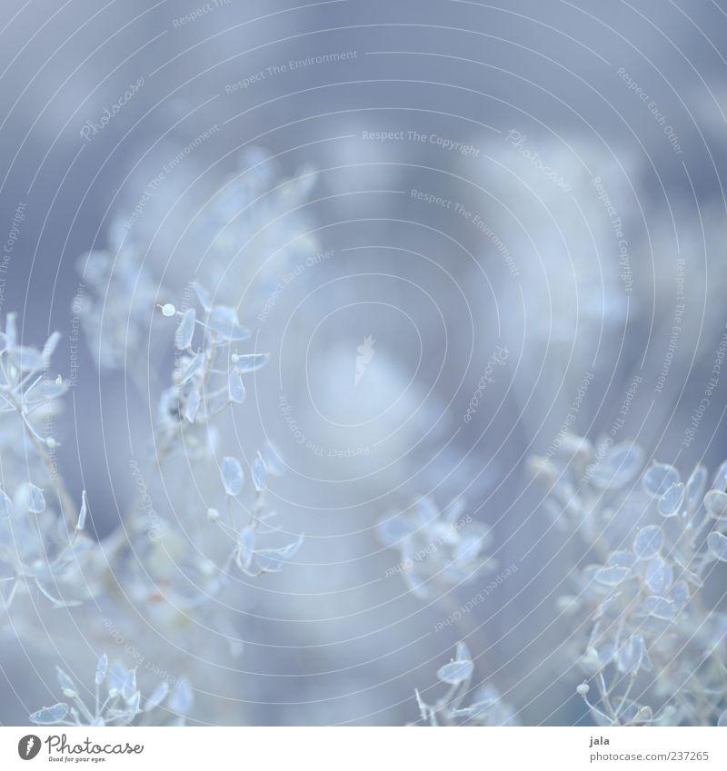 zartblau weiß Pflanze Blatt Sträucher durchsichtig Leichtigkeit filigran